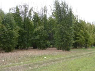 Bamboo Mop Crop