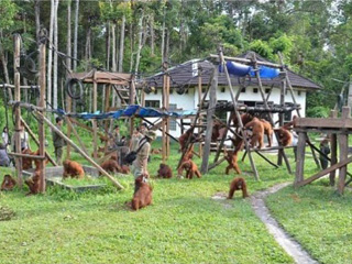 Bonrneo orangutan project