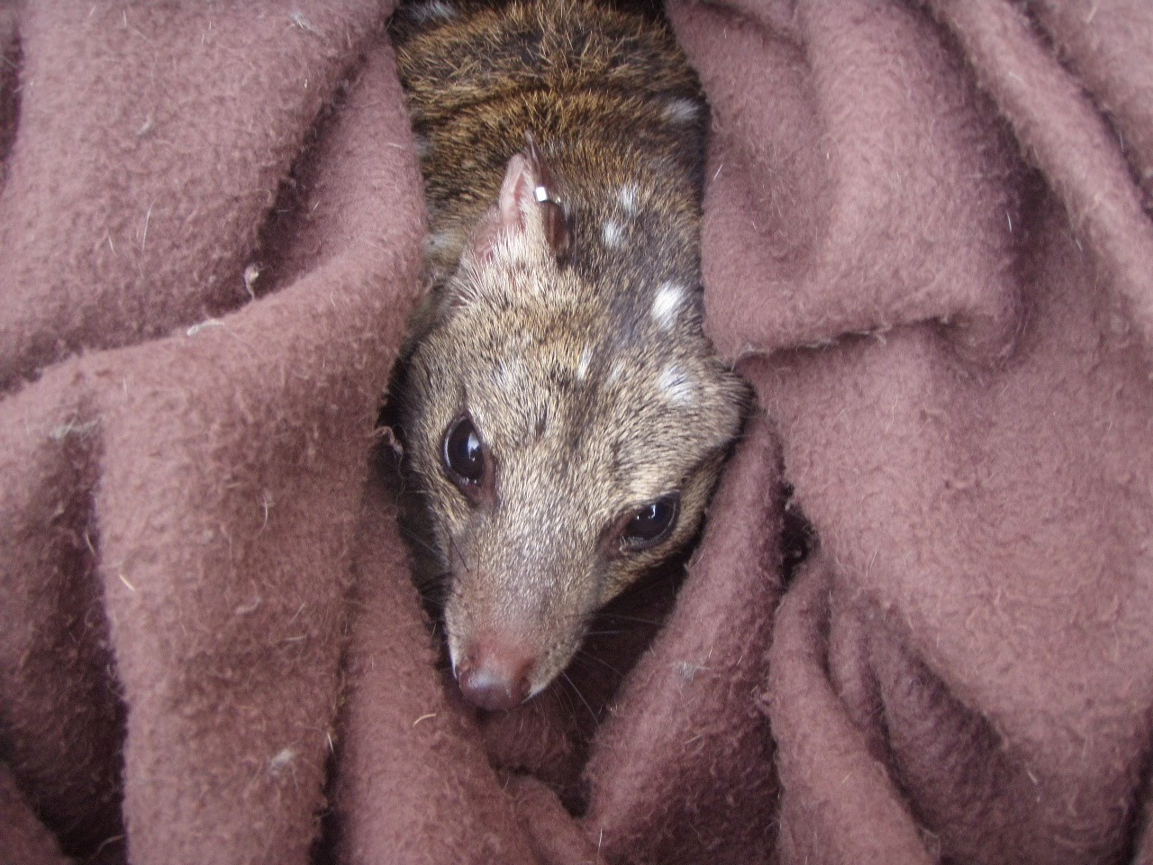 Biodioversity and Ecology Assessments - Western quoll (Dasyurus geoffroii)