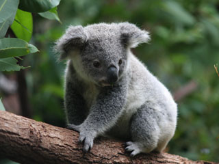 Environmental Services Koala Habitat Assessment
