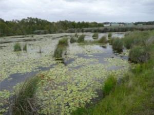 One of our constructed wetlands treating water