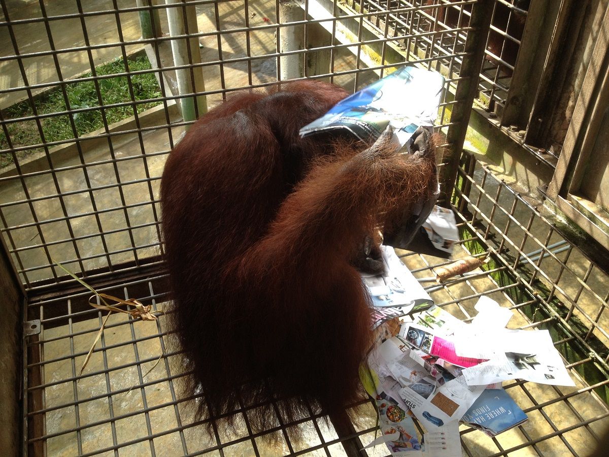 Orangutans need enrichment