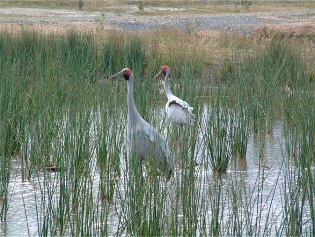stormwater - Brolgas in wetland