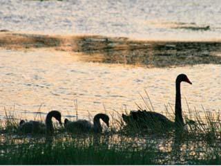 Swans on a wetland