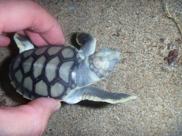 Biodiversity and Ecology Assessments - Flatback turtle (Natator depressus)